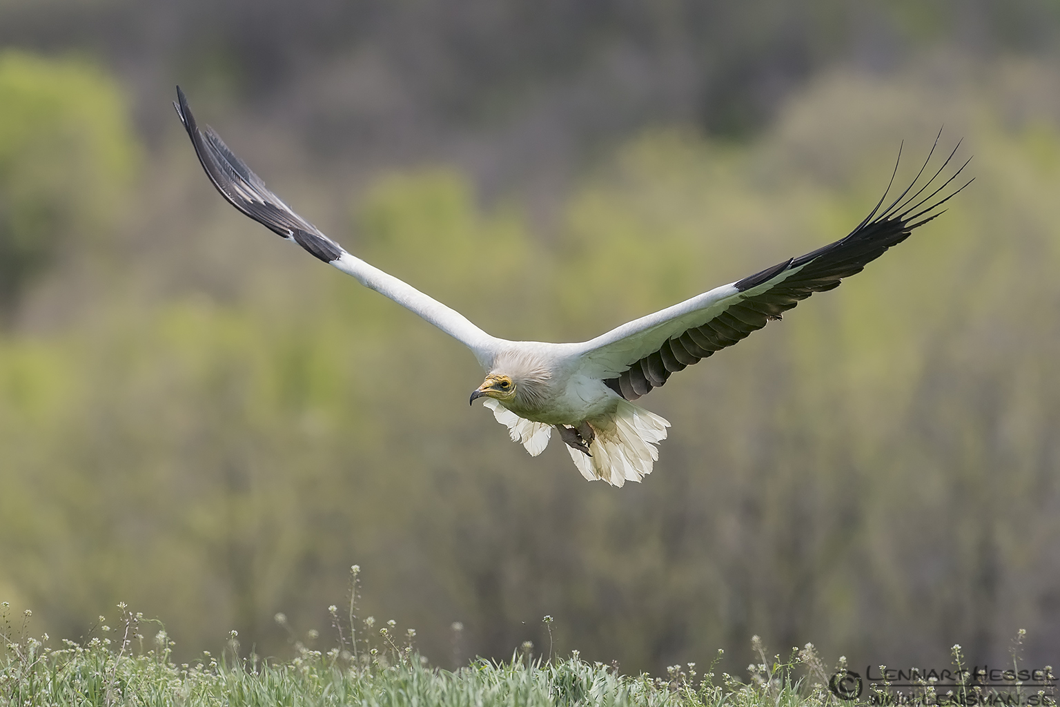 Egyptian Vulture flying in Bulgaria
