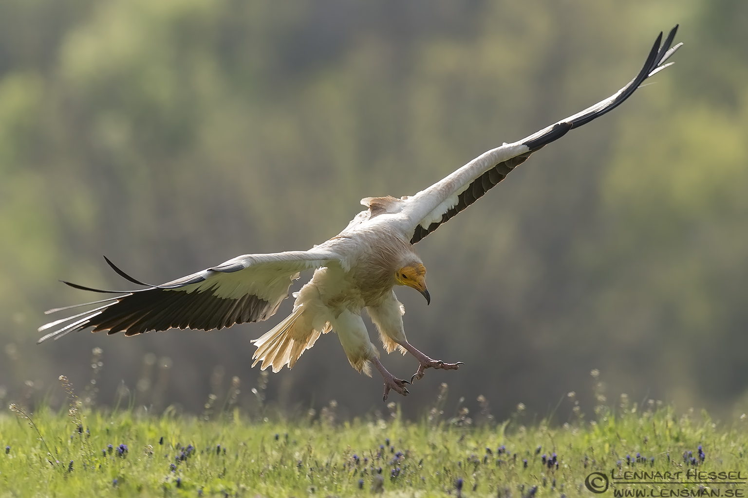 Landing Egyptian Vulture in Bulgaria