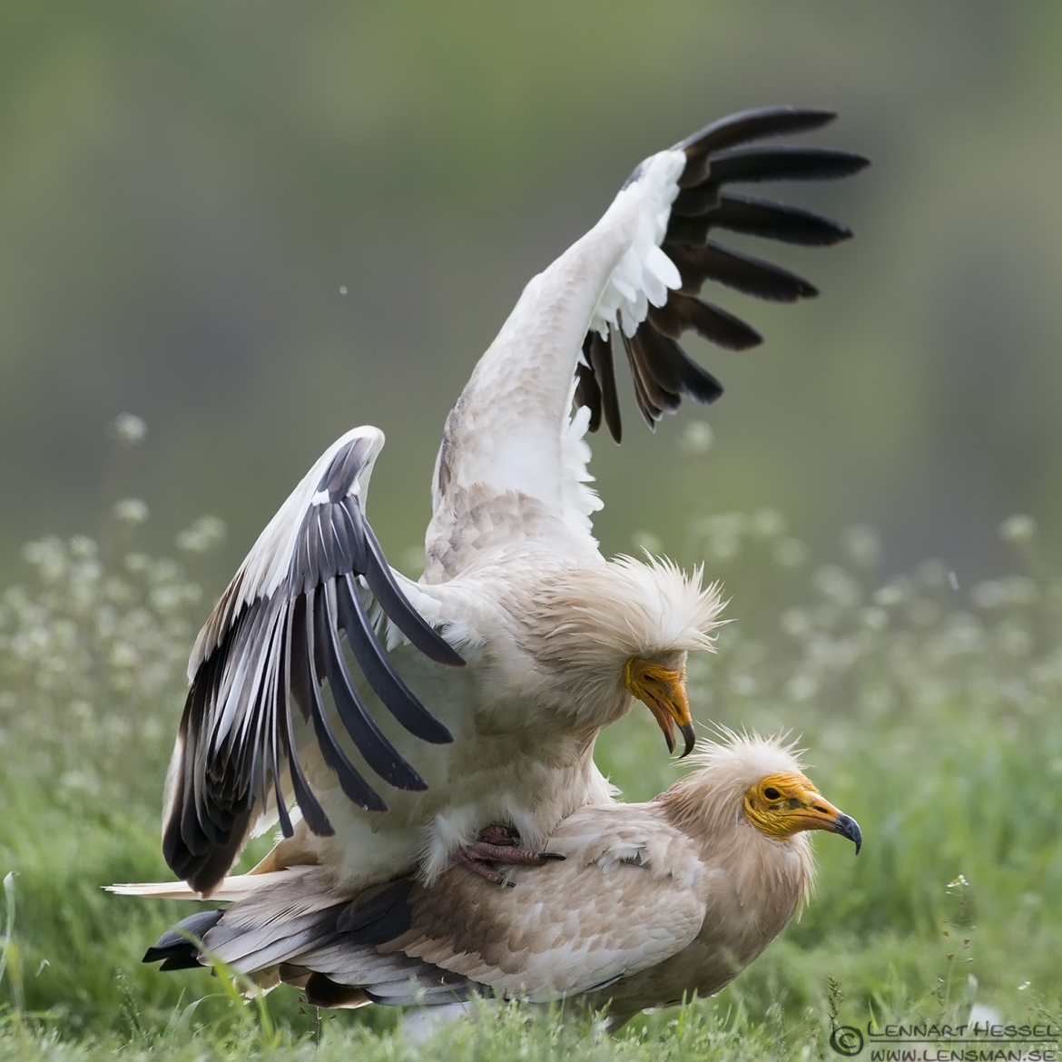 Mating Egyptian Vultures in Bulgaria africa geographic article