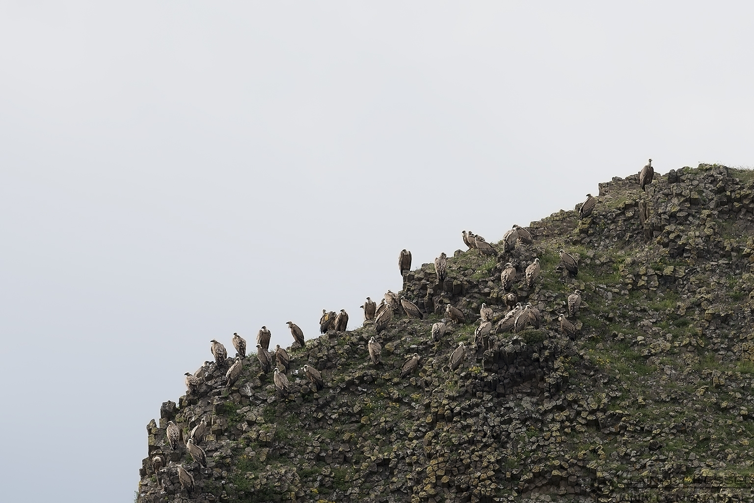 Griffon Vulture gathering in Bulgaria