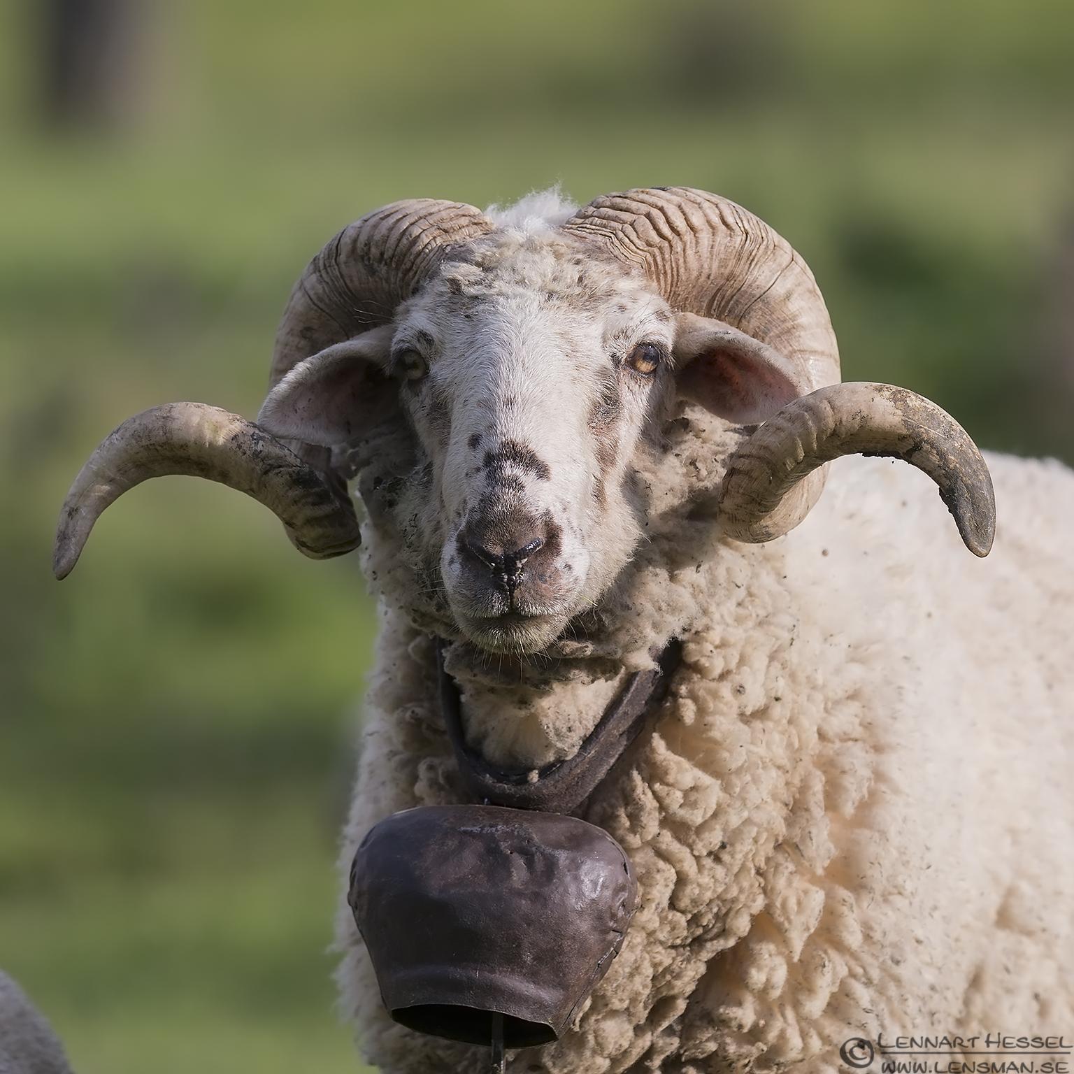 Ram in Bulgaria