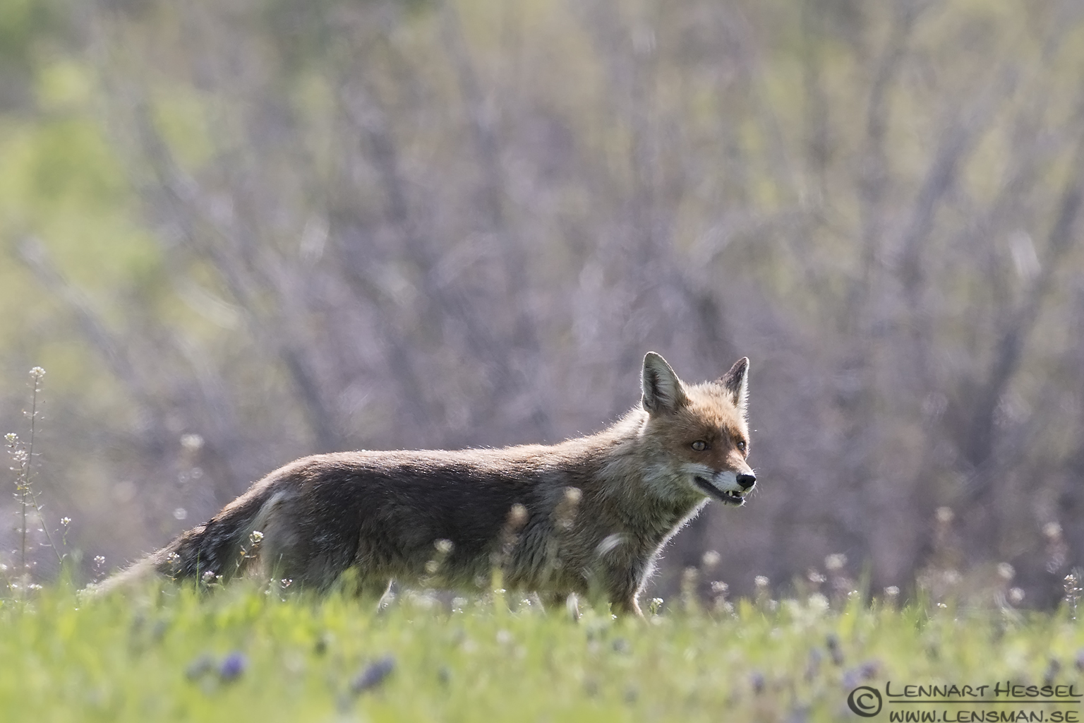 Red Fox in Bulgaria