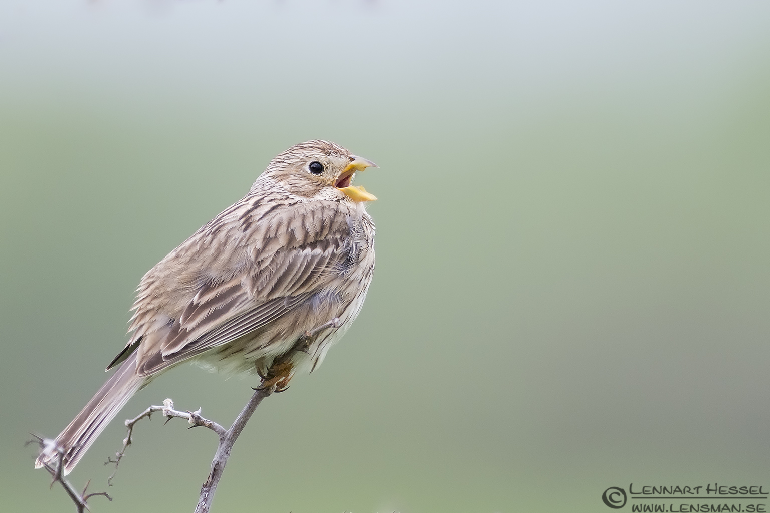 Singing Corn Bunting in Bulgaria