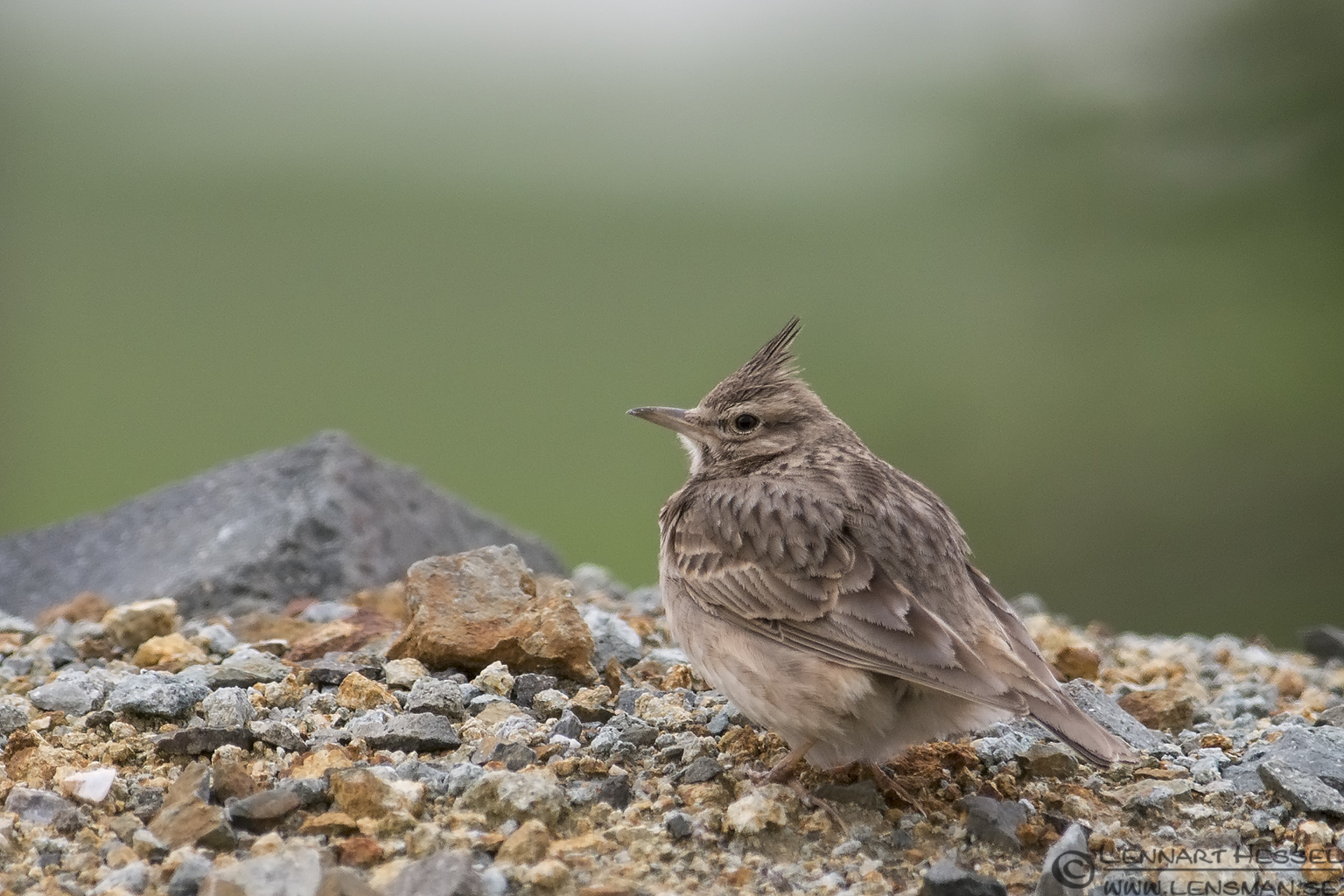 Crested Lark in Bulgaria