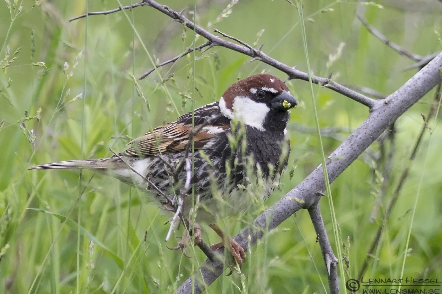 Spanish Sparrow in Bulgaria
