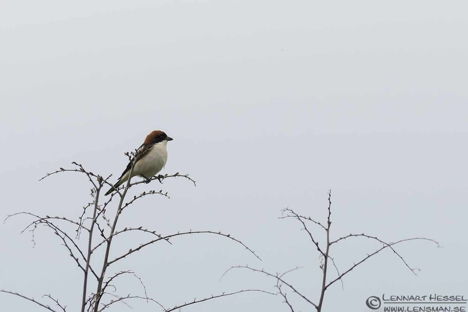Woodchat Shrike in Bulgaria