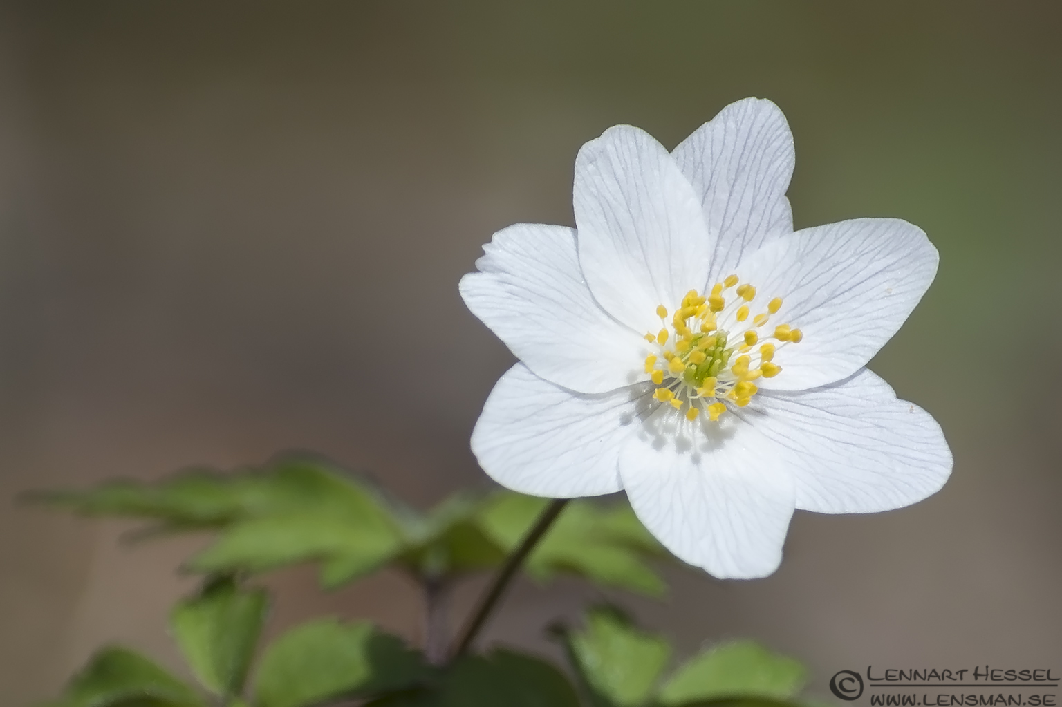 Closeup Wood anemone, spring Gothenburg