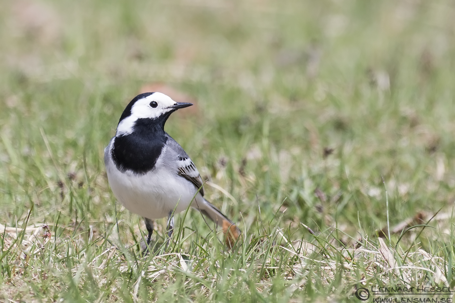 White Wagtail Nimis