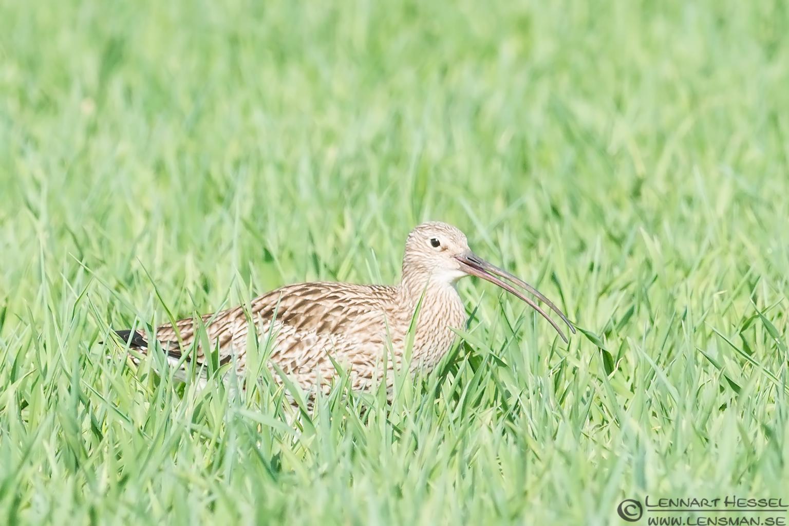 Eurasian Curlew Brantevik