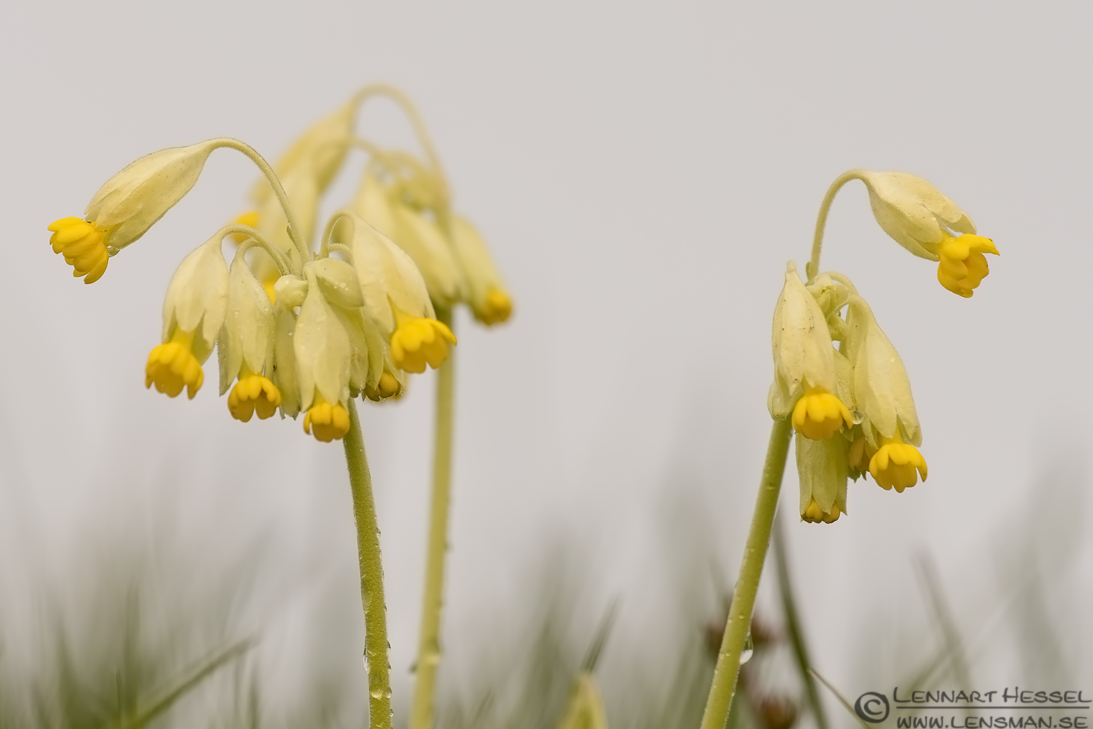 Common Cowslip photo from Brösarp backar