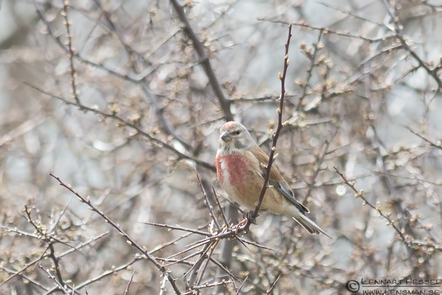 Common Linnet Stenshuvud