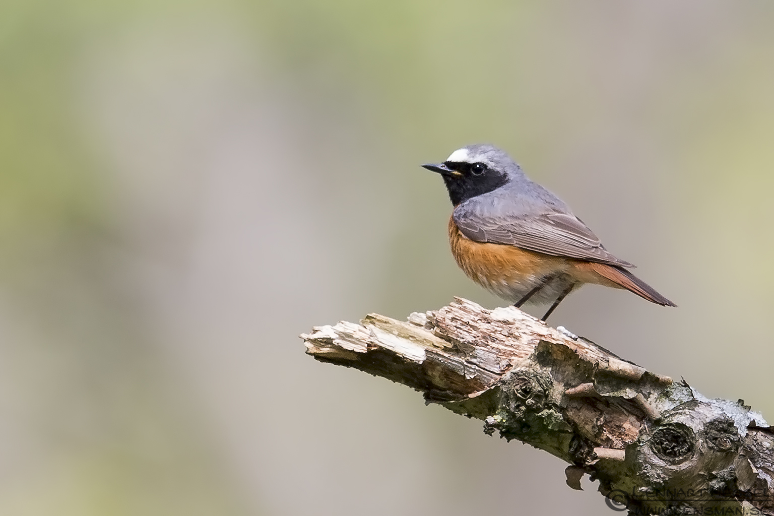 Common Redstart male Stenshuvud