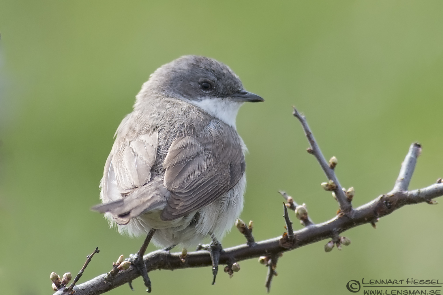 Lesser Whitethroat Stenshuvud