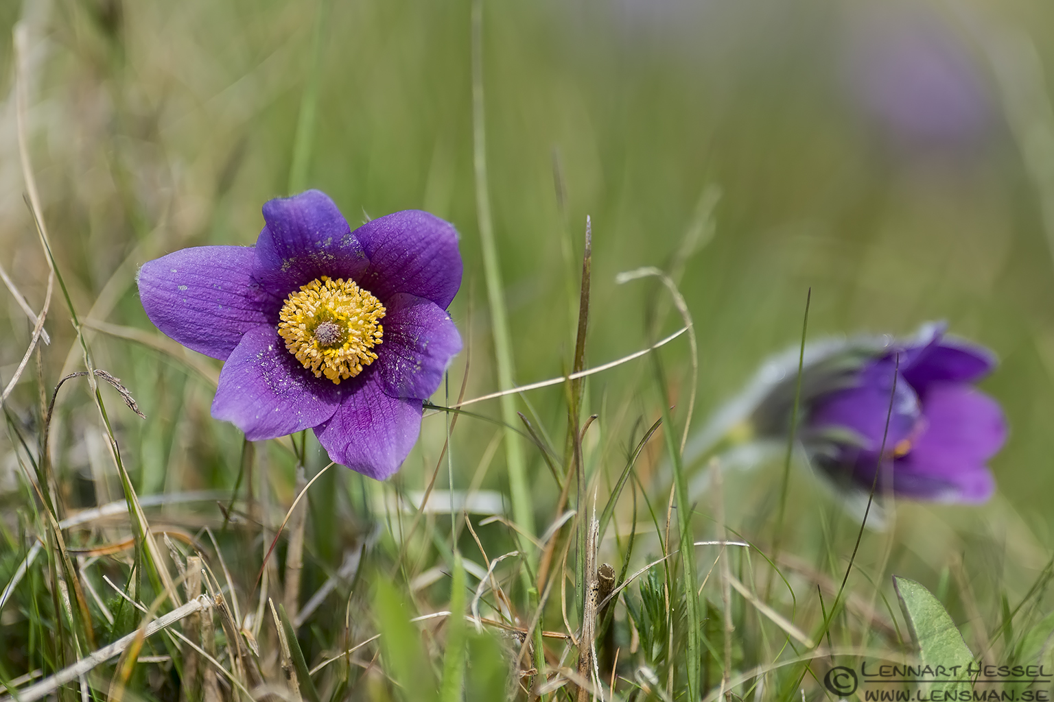 Pasque flower Stenshuvud