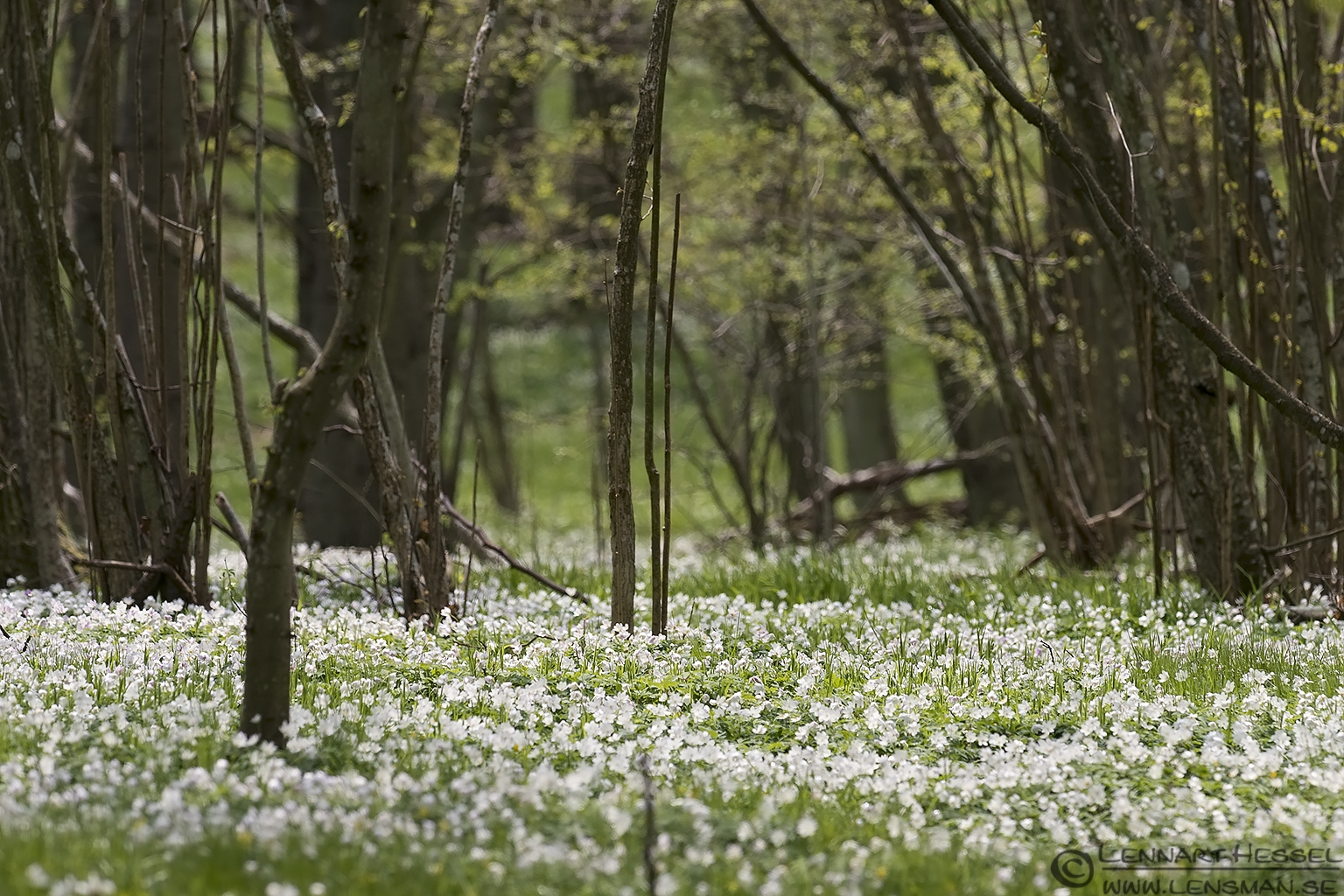 A carpet of Wood Anemone Stenshuvud
