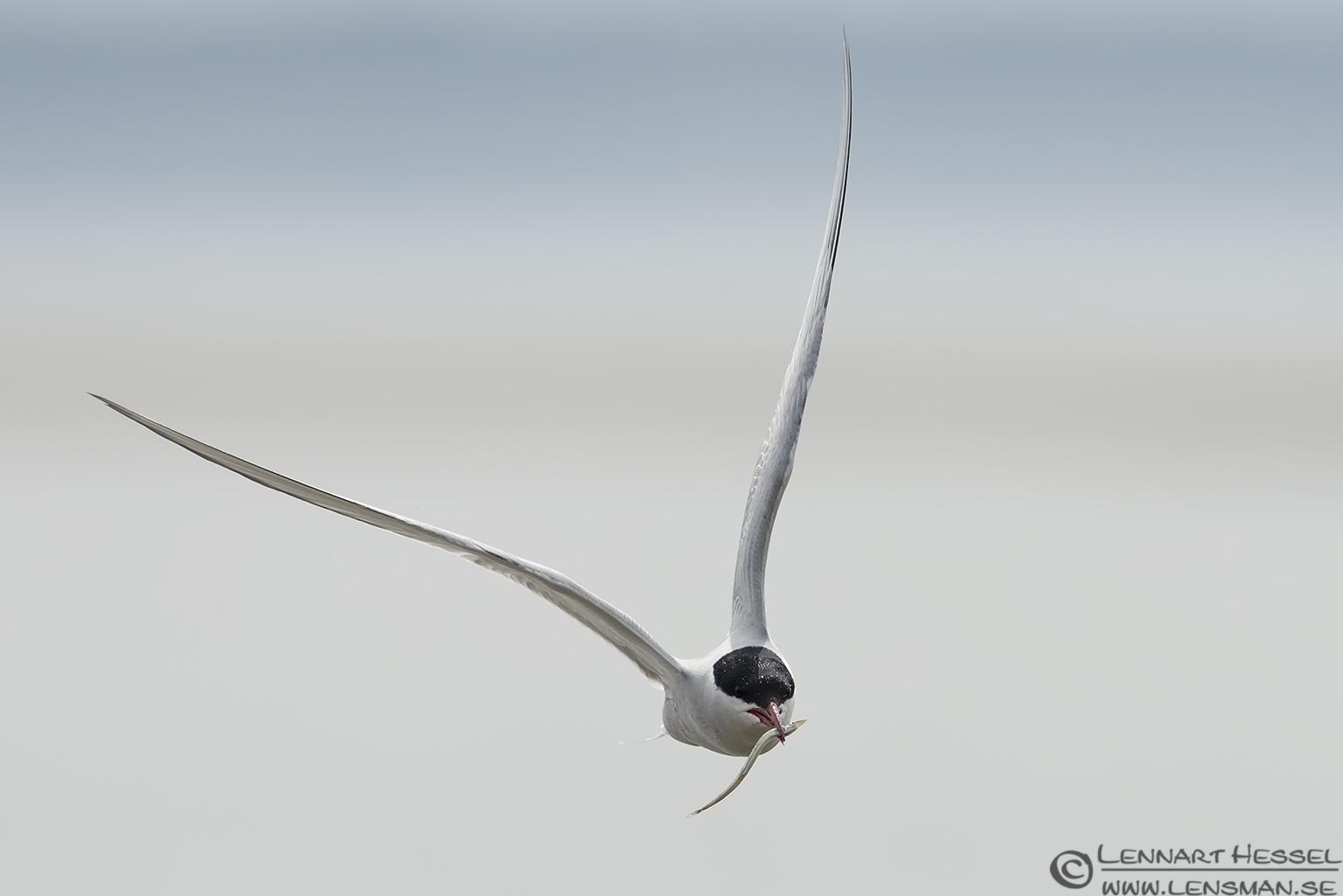 Arctic Tern with a catch Beijershamn