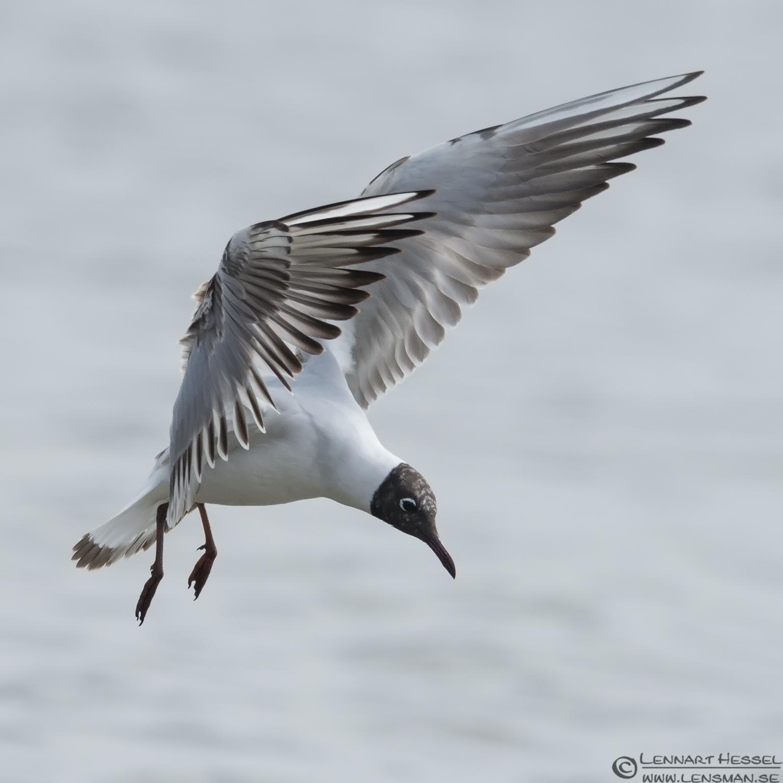Black-headed Gull Beijershamn
