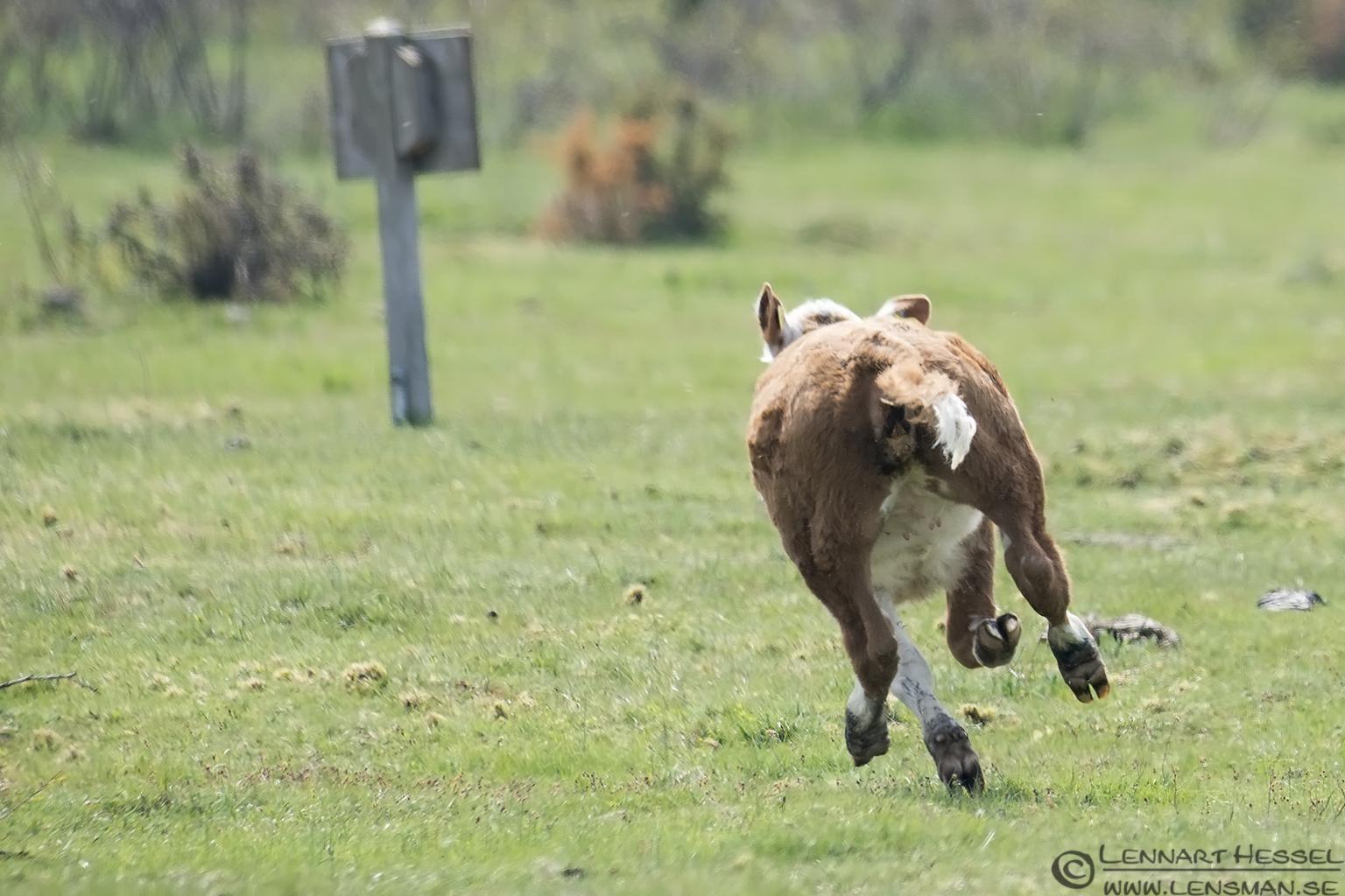 Running calf Beijershamn