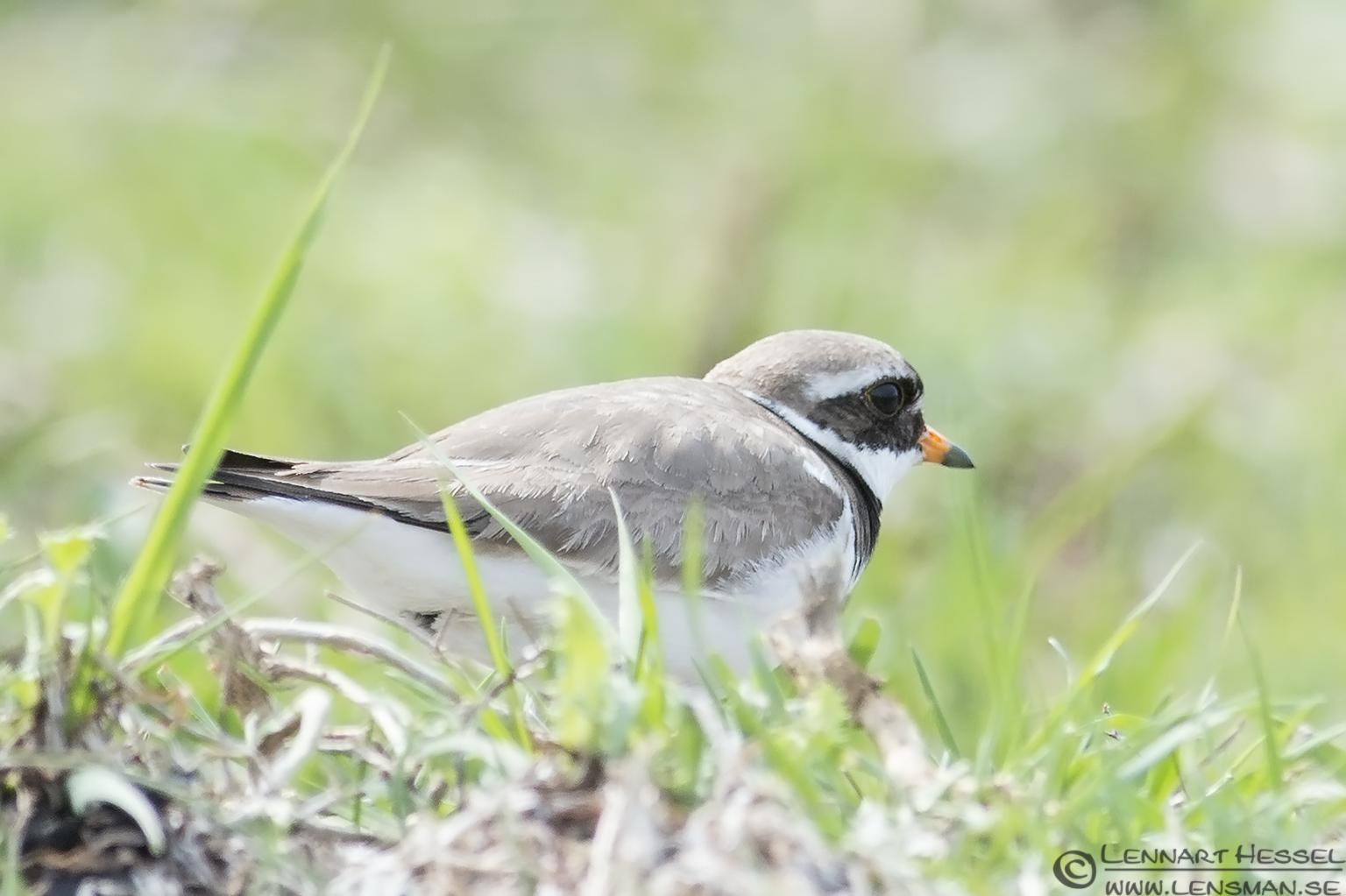 Common Ringed Plover Beijershamn
