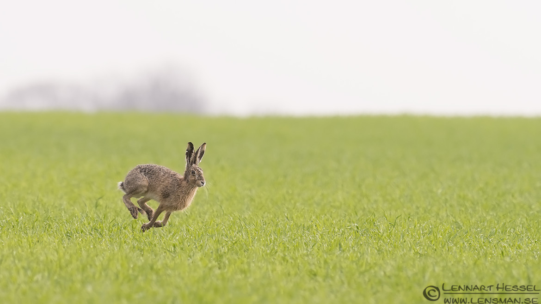 European Hare Beijershamn