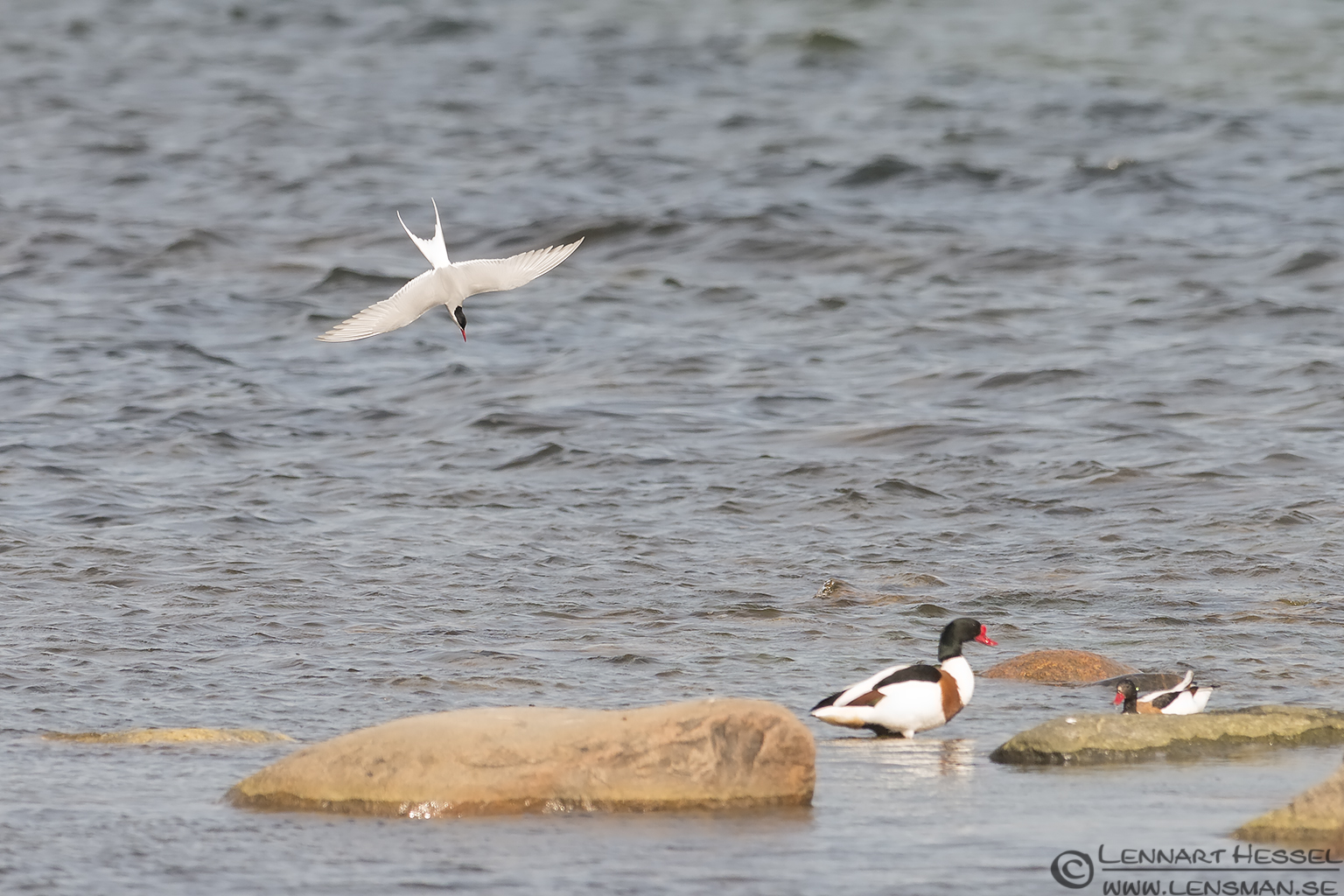 Arctic Tern & Common Shelduck Goose