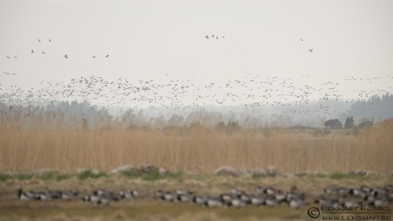 Barnacle Goose flock
