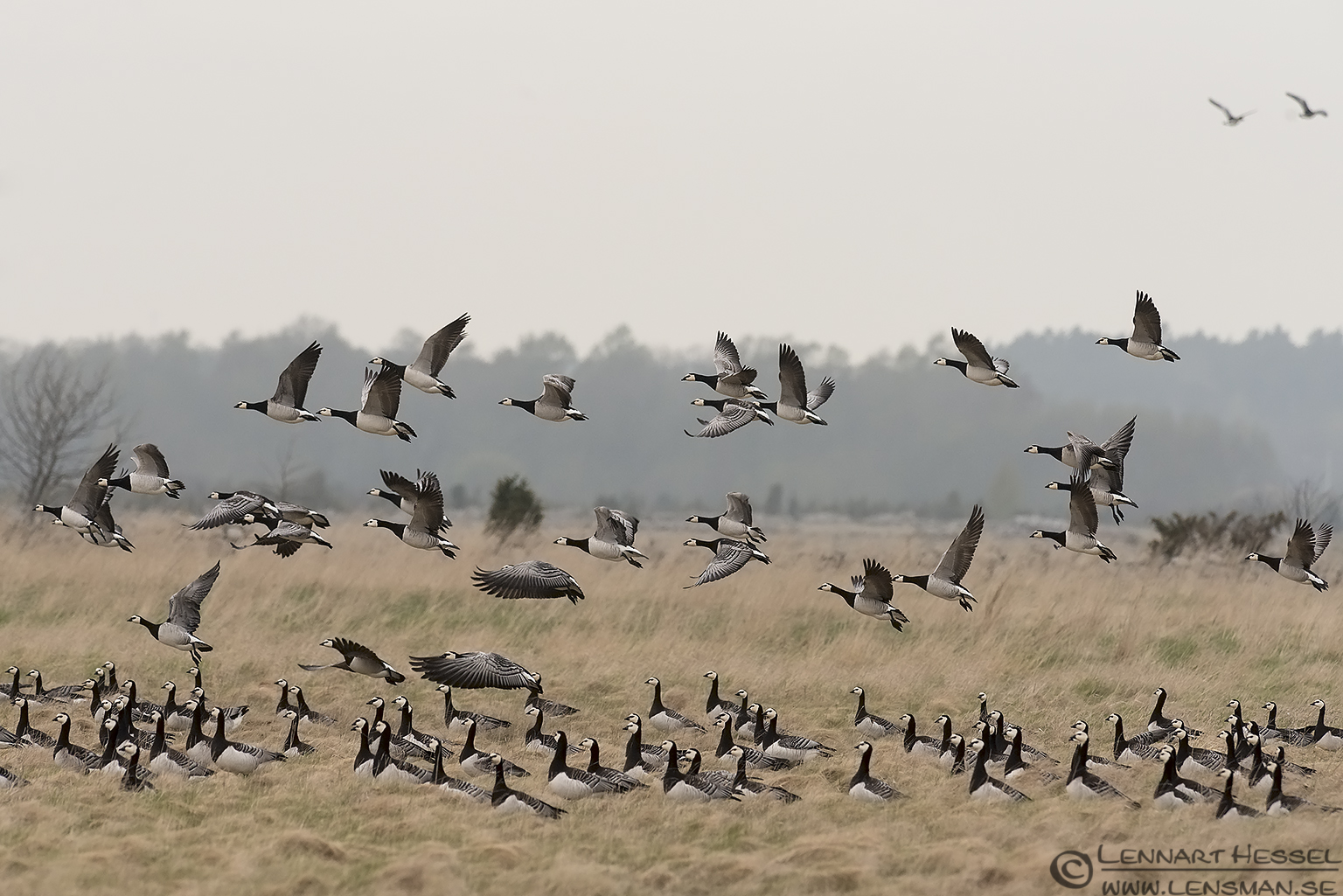 Barnacle Goose lift off