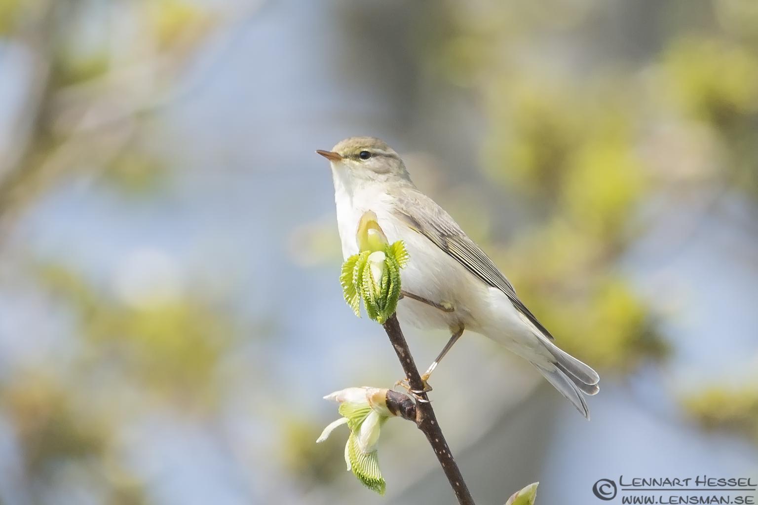 Sedge Warbler nightingale