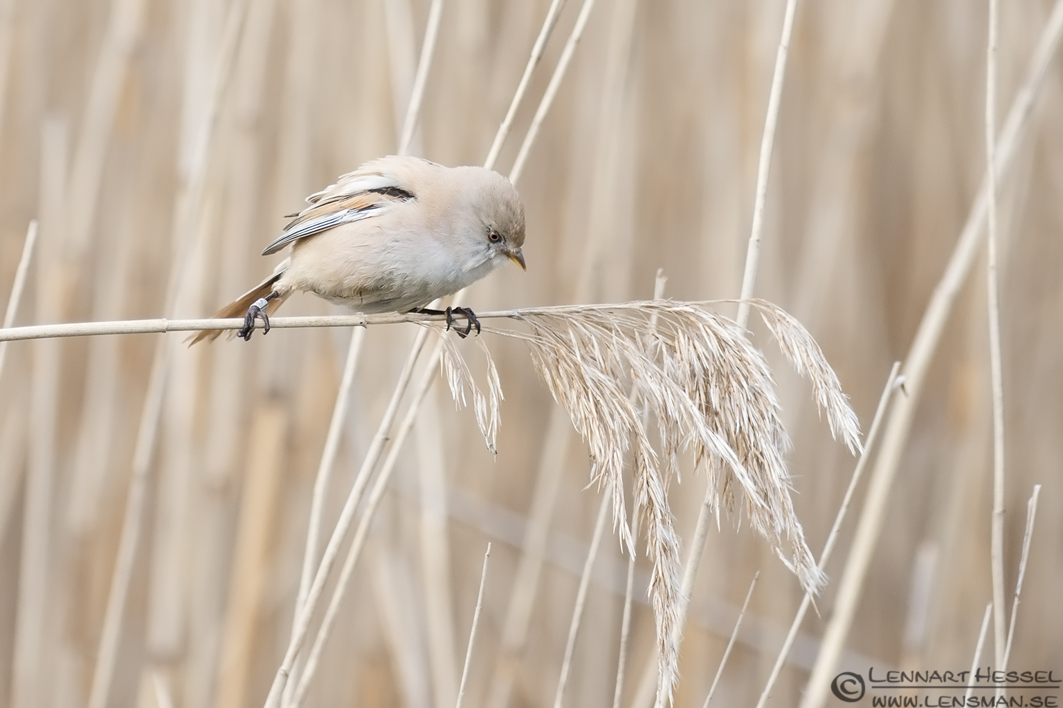 Female Bearded Reedling