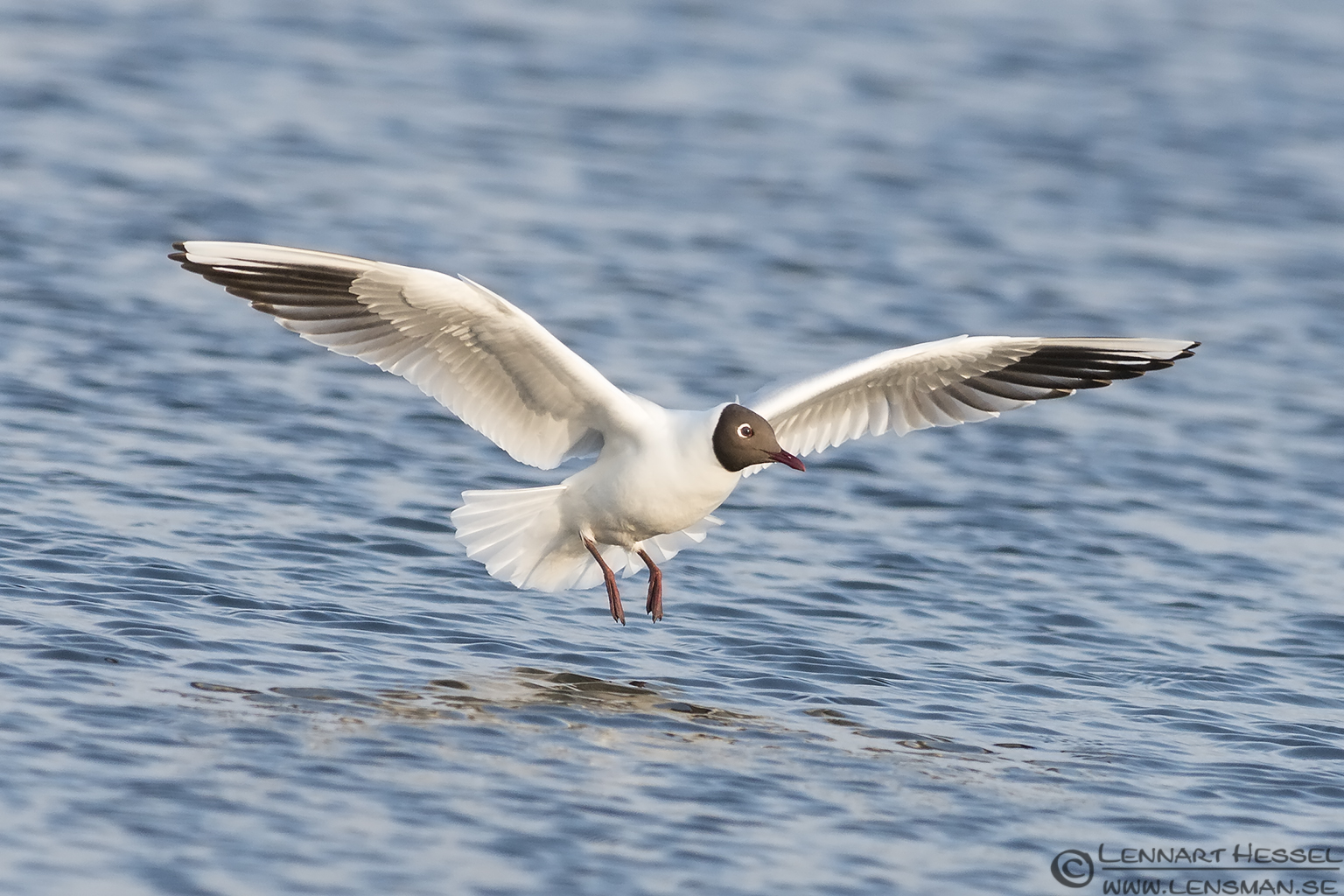 Black-headed Gull bearded