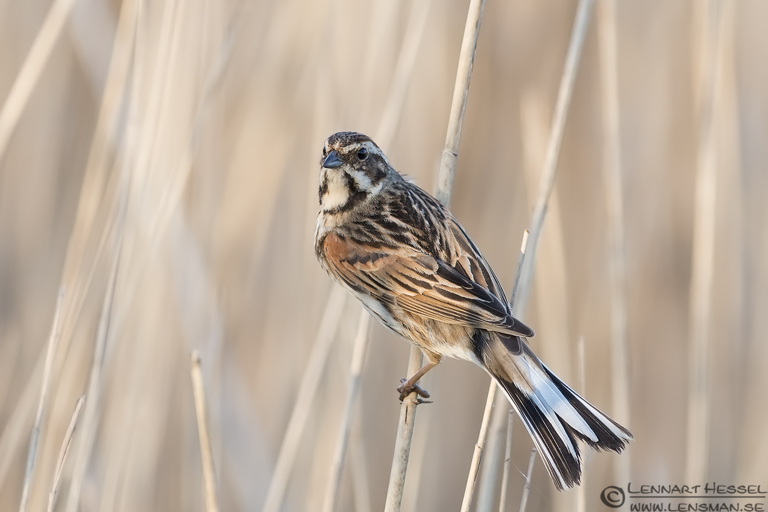 Common Reed Bunting bearded