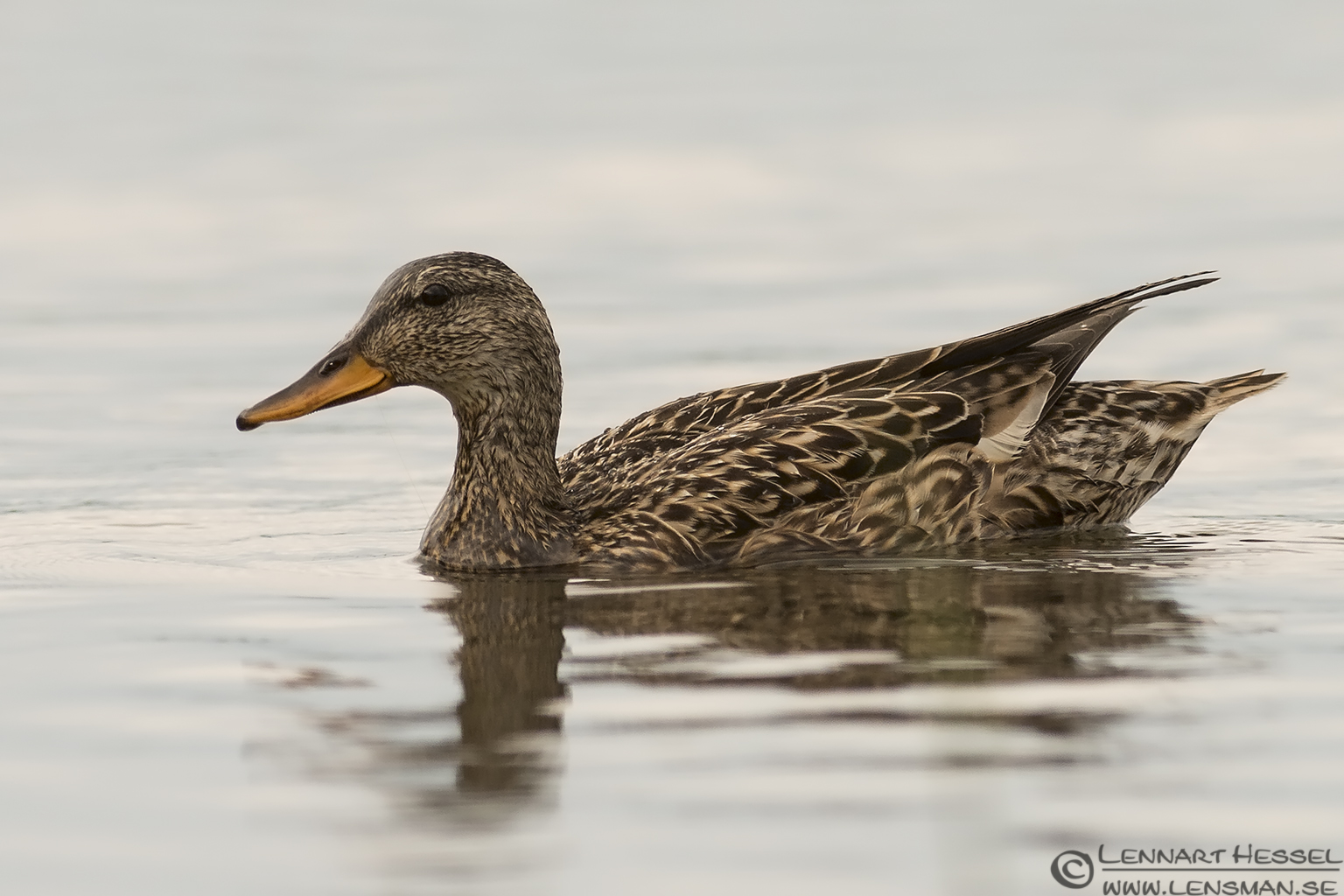 Gadwall bearded