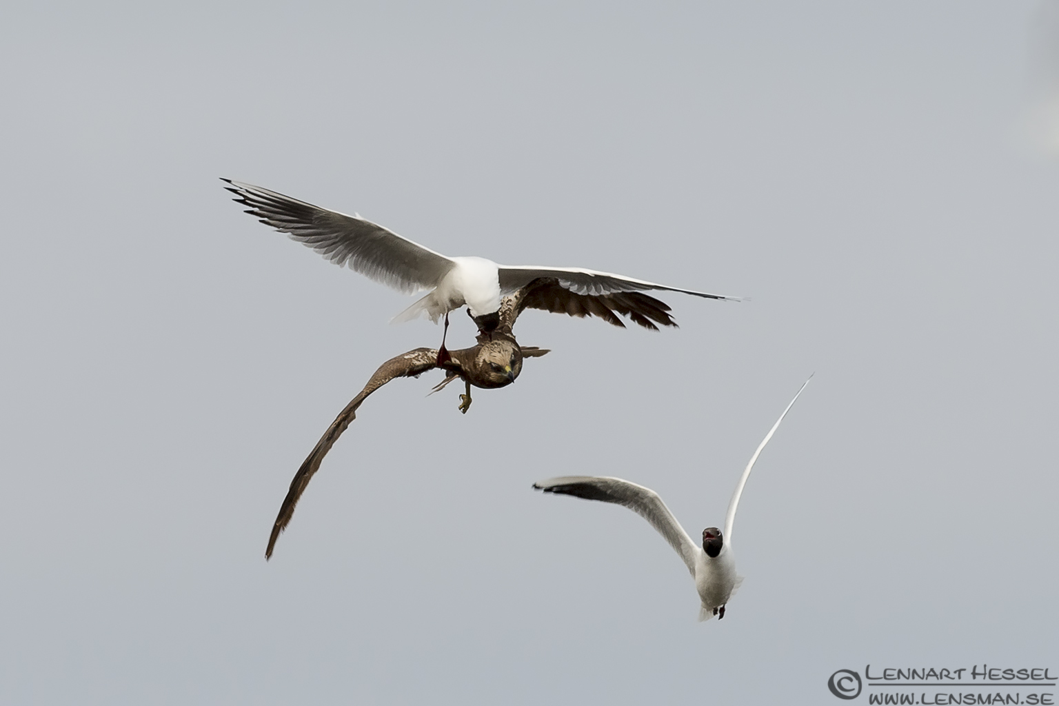 Black-headed Gulls attacking a female Marsh Harrier bearded