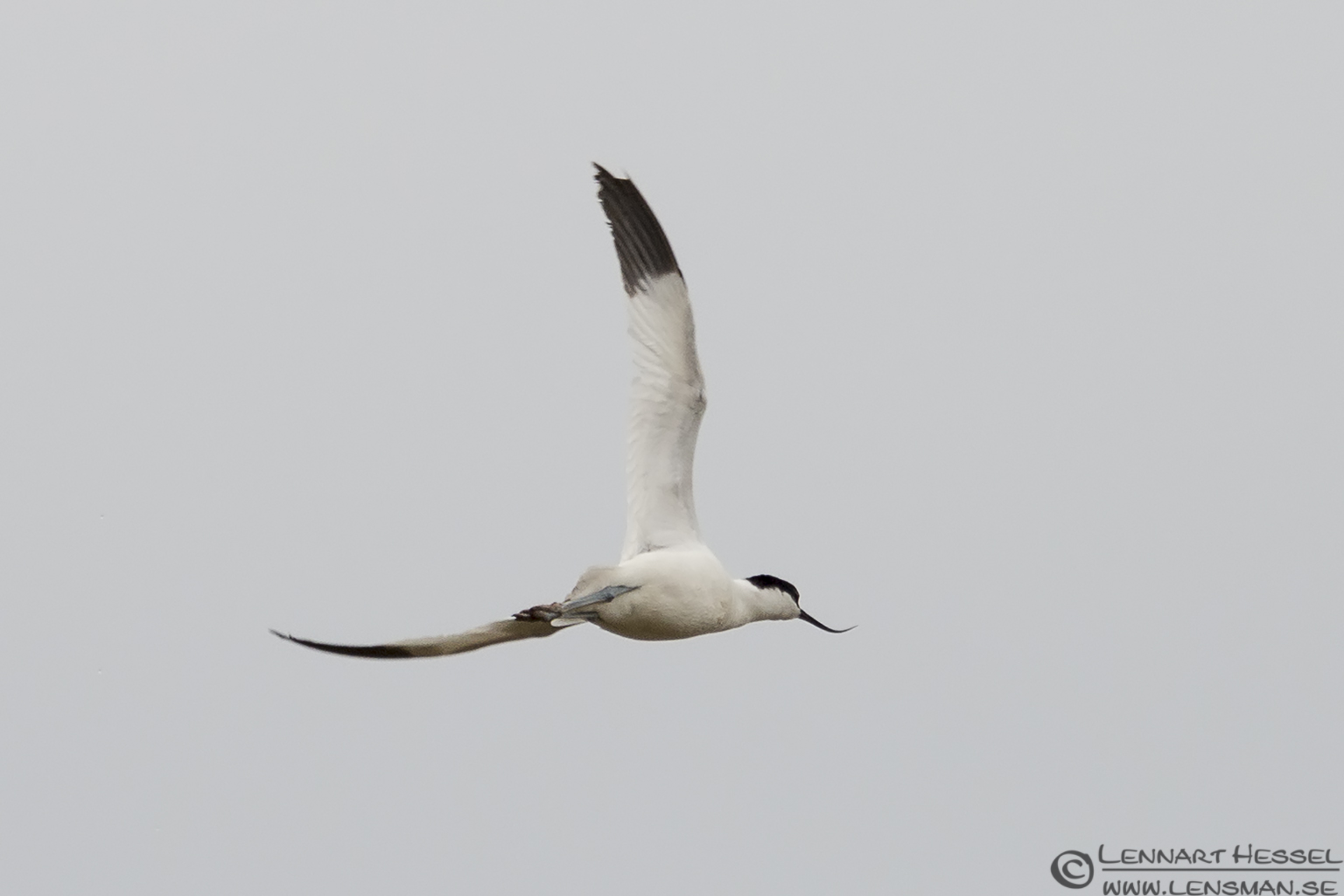Pied Avocet bearded