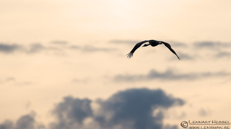 Common Crane West Gothland
