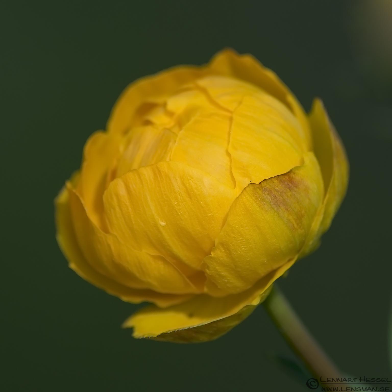 Globe-flower West Gothland