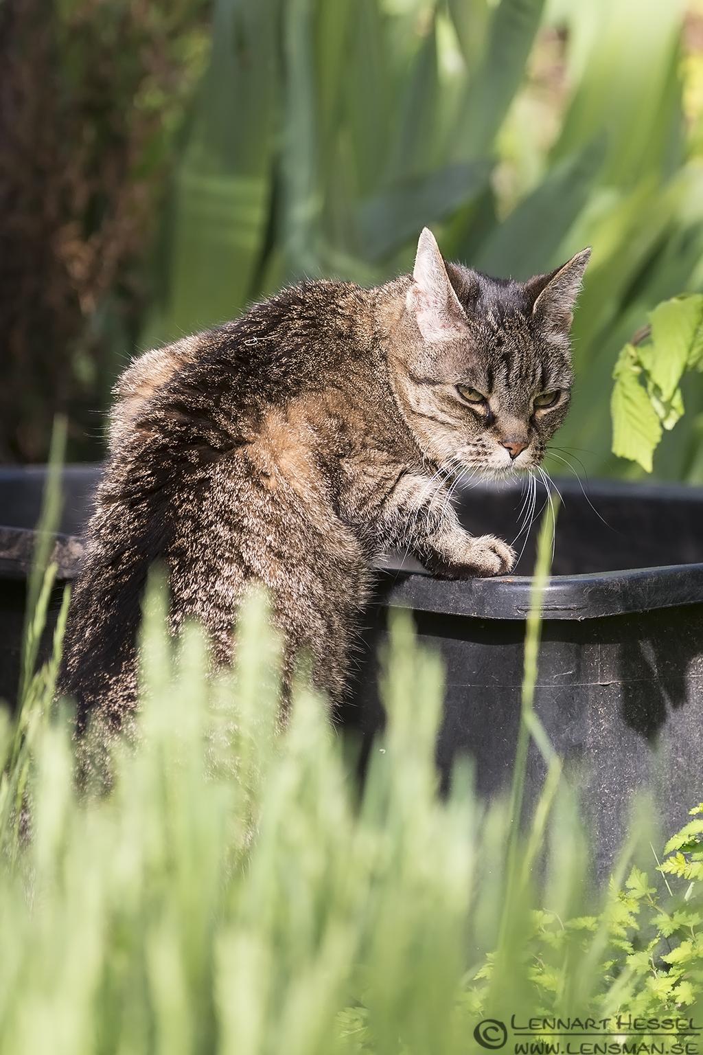 Hokus caught drinking rain water West Gothland