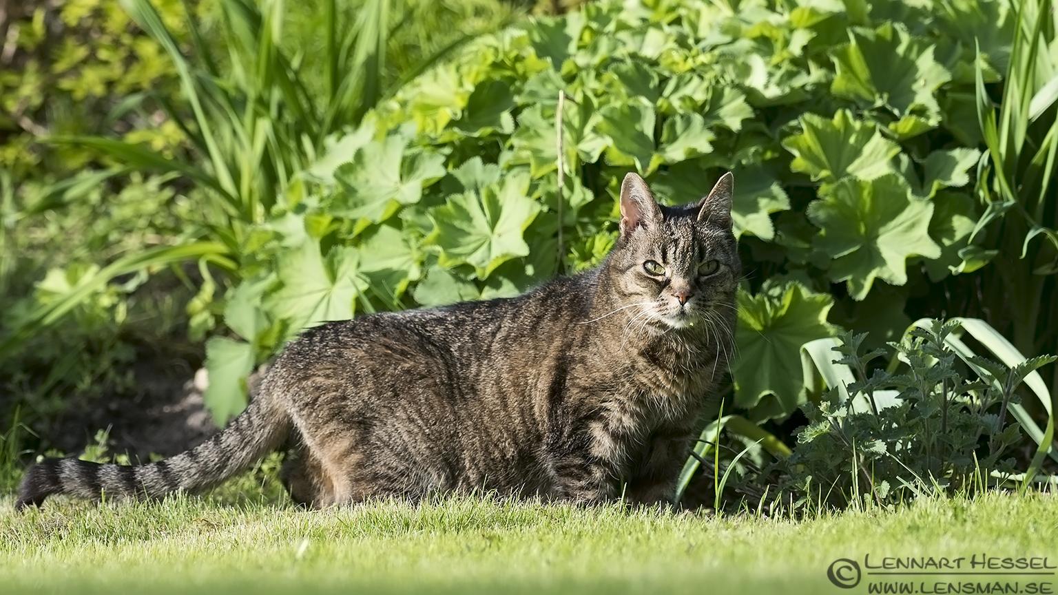 Hokus the cat West Gothland