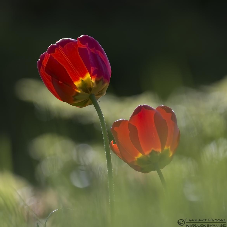 Red Tulip West Gothland
