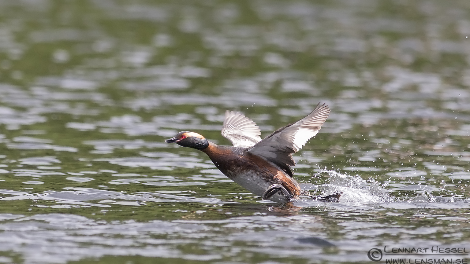 Running Horned Grebe West Gothland