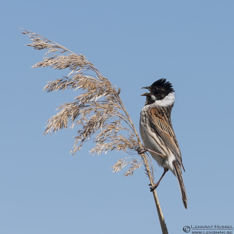 Common Reed Bunting Getterön Halland
