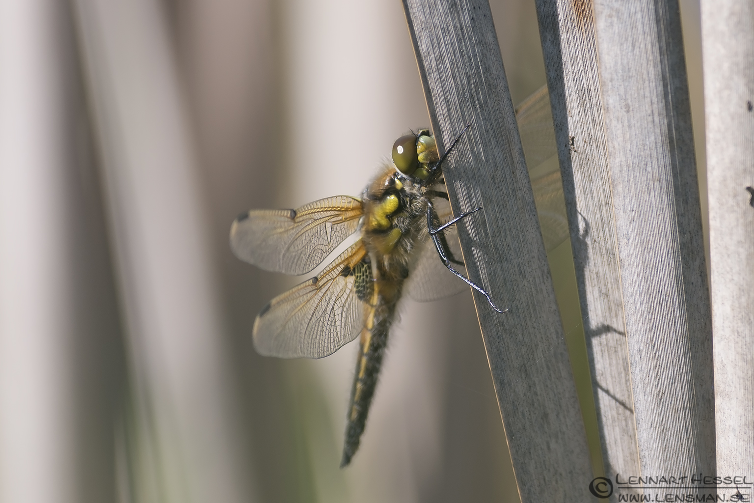 Four-spotted Chaser at Källtorp Wetlands Halland