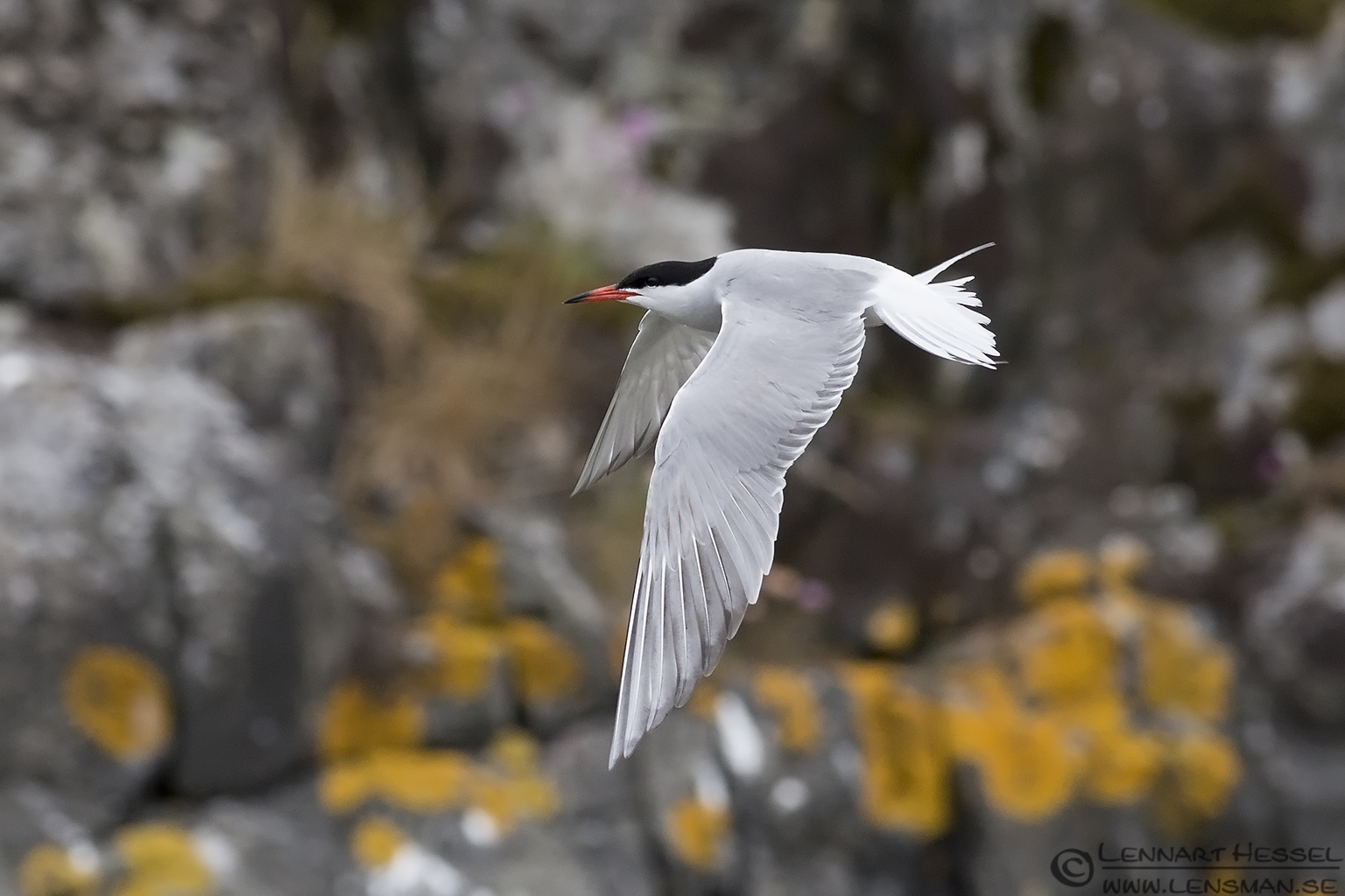 Flying Common Tern colony
