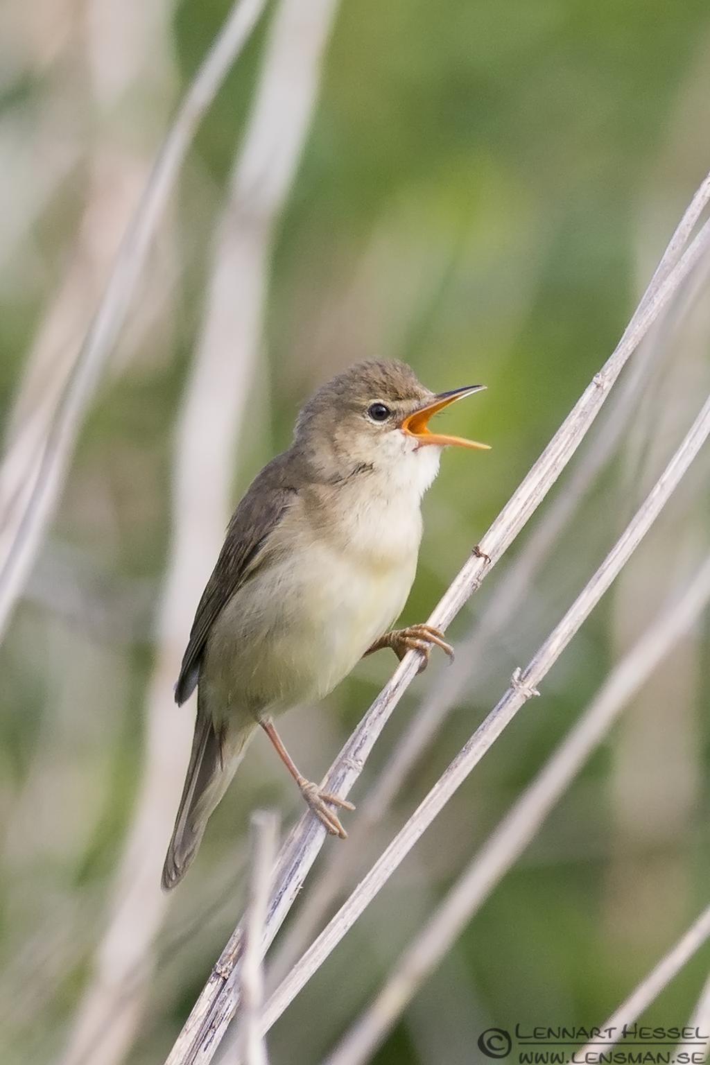 Singing Marsh Warbler catch