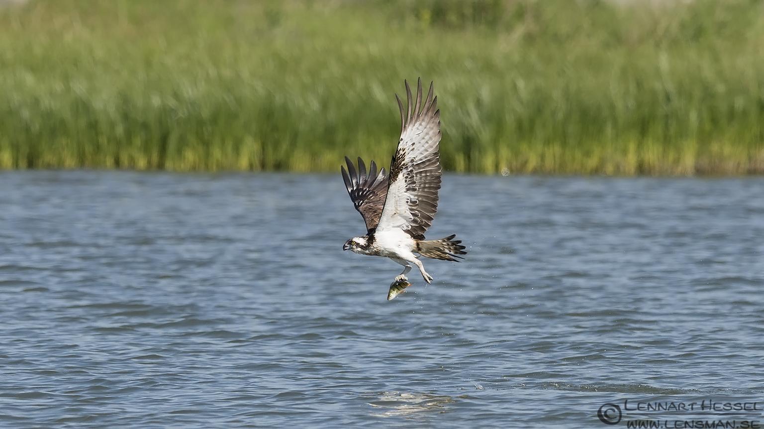 Osprey with the catch