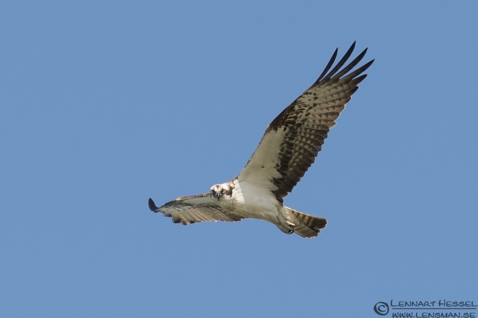 Osprey looking catch