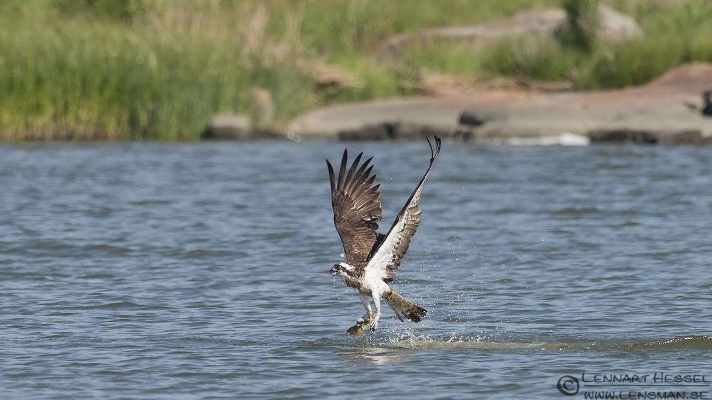 Osprey with a catch