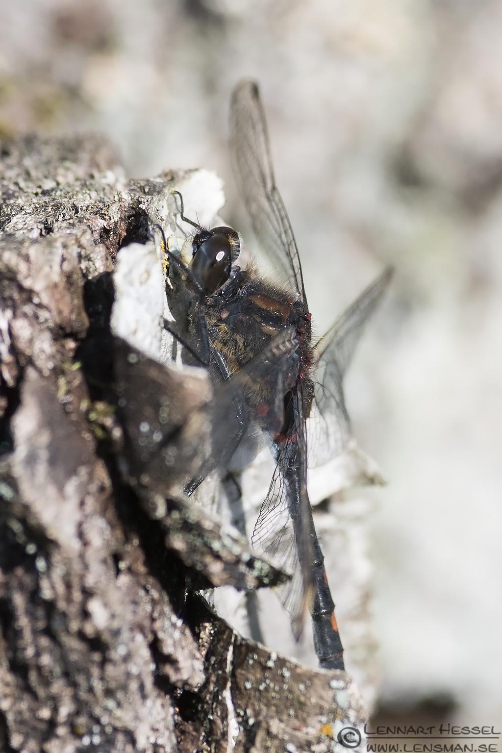 White-faced Darter Dragonflies