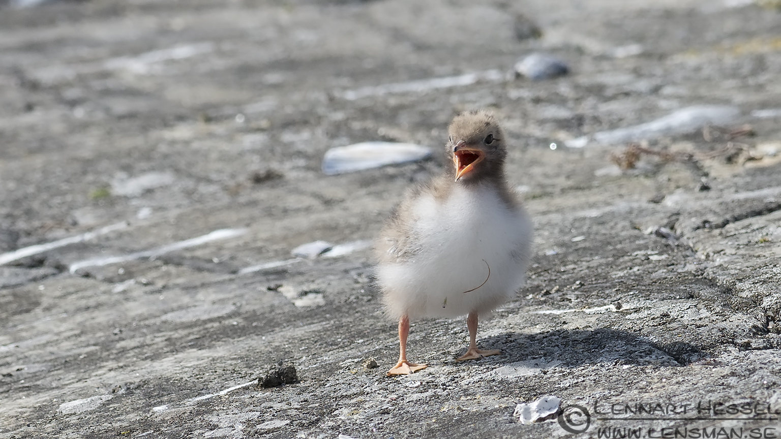 Common Tern chick calling colony