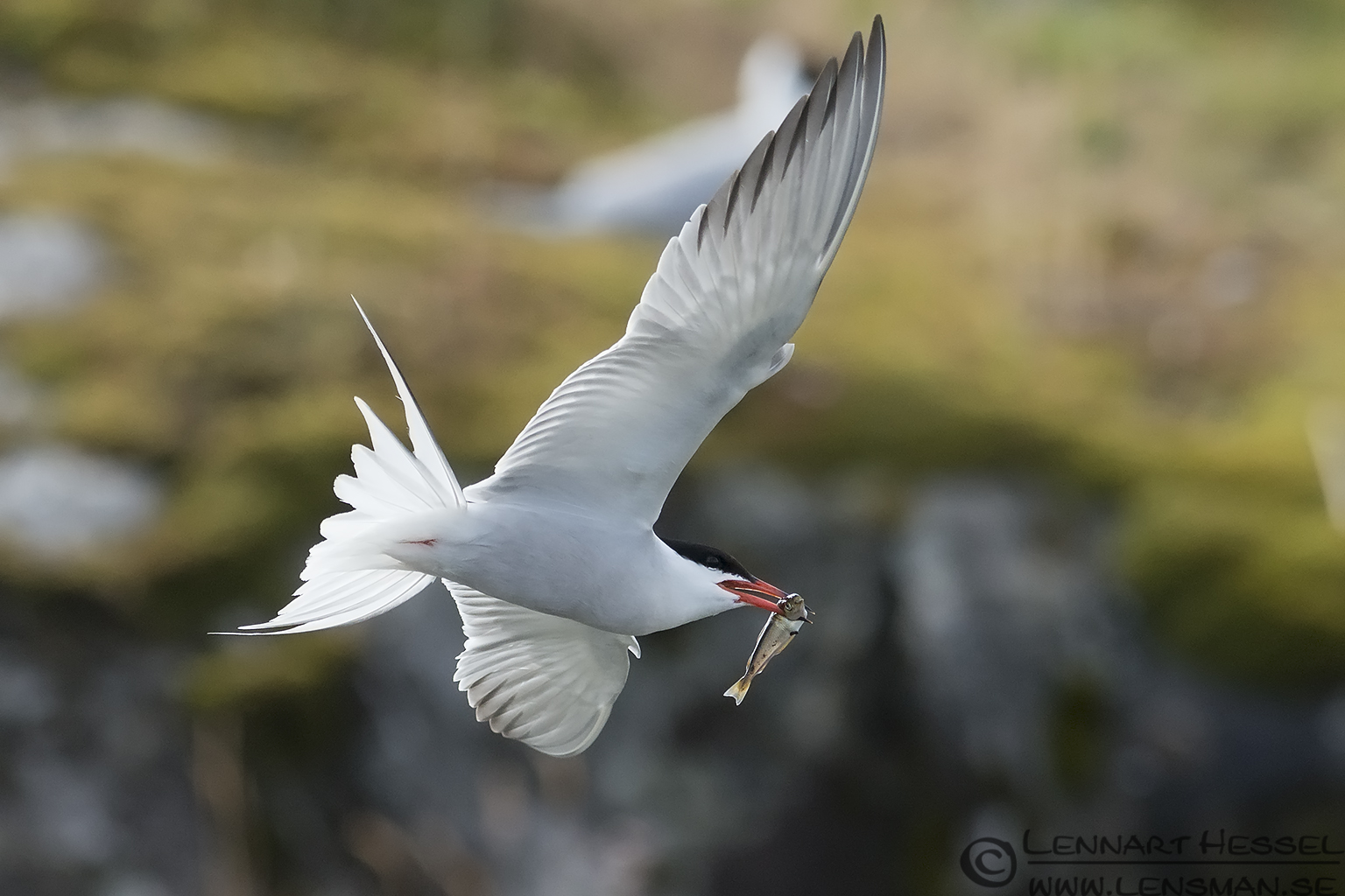 Common Tern with fish colony